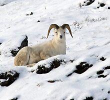Dall Sheep in Atigun Pass by Caren della Cioppa