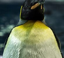 Emperor Penguin by Simon Metcher