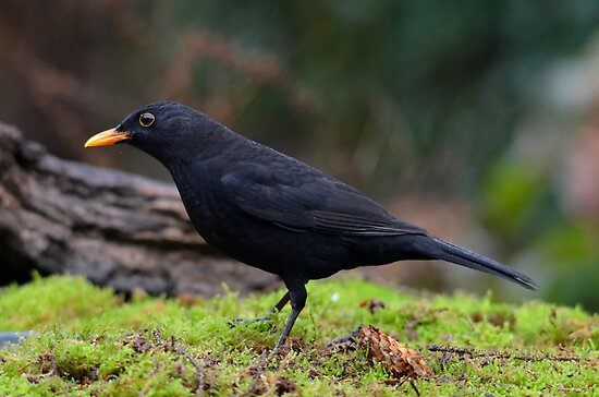 Blackbird by Peter Wiggerman