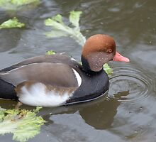 Kroon Eend / Red-crested Pochard by MaartenMR