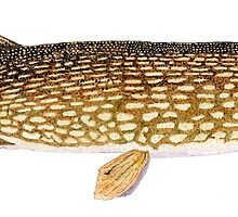 Northern Pike by Thom Glace