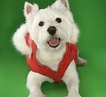Photo of a White Terrier Dog Dressed in a Red Coat by monkeydesigns4u