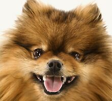 POMERANIAN SMILING by monkeydesigns4u