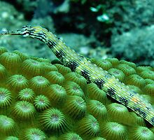 Pipefish on Favid by Dr Andy Lewis