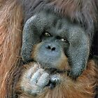 Male Orangutan  by venny
