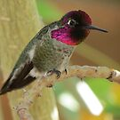 Anna's Hummingbird (Male) by Kimberly P-Chadwick