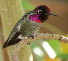 Anna's Hummingbird (Male) by Kimberly Chadwick