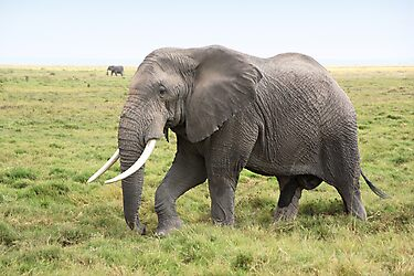 Bull Elephant Following the Herd, Amboseli, Kenya by Carole-Anne