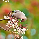 waxwing 2  by Steve Shand