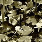 Loto flowers monocrome view by pangix