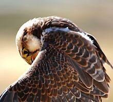 Lanner Falcon by Larry Trupp