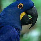 Hyacinthara / Hyacinth Macaw by MaartenMR