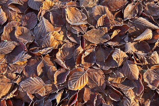 Beech Leaves and Frost by Sue Robinson