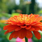 Zinnia Side View by AbigailJoy