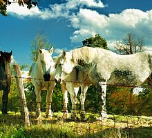 Amish work horses by woodnimages
