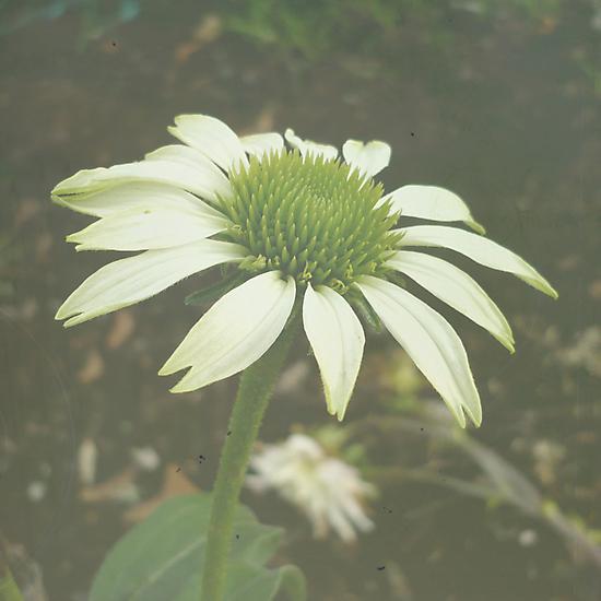 White Flower by Jess Meacham
