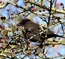 BLACK BIRD EATING . by Dahlia48
