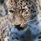 Leopard Lunch by jd-photography