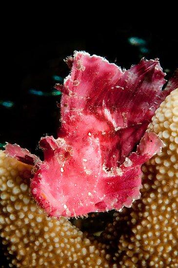 Leaf Scorpionfish, Wakatobi National Park, Indonesia by Erik Schlogl