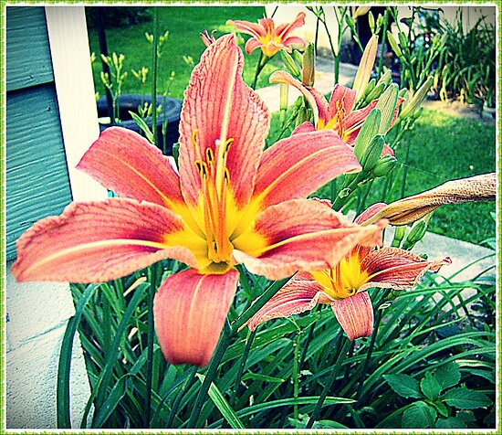 Day Lillies by Paul Lubaczewski
