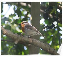 ROBIN IN HOLLY TREE  Poster