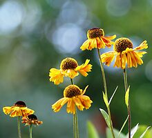 Heleniums by Sally J Hunter
