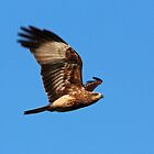 Whistling Kite in Flight by JLOPhotography