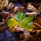 autumn leaves by Joana Kruse