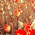 Tulips by Joana Kruse