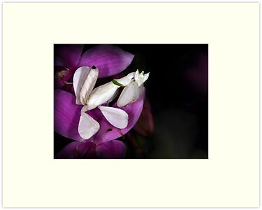 Orchid mantis by jimmy hoffman