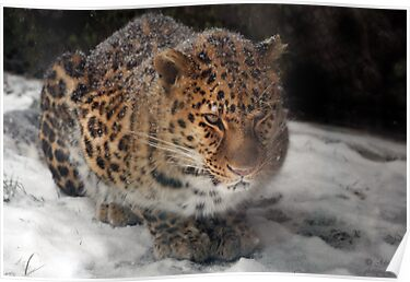 An Asian Amur Leopard in Canada by John44