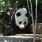 PANDA by JAMES LEVETT