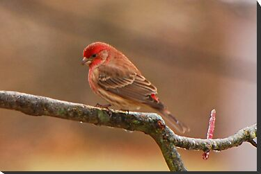 House Finch by mcstory
