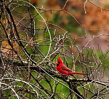 Fall Cardinal by Thomas Young