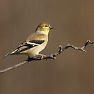 American Goldfinch by Bill McMullen
