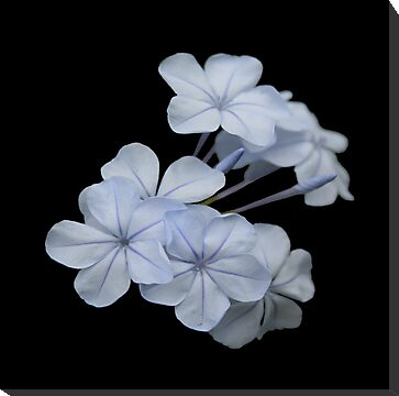 Plumbago Isolated on Black Background by taiche