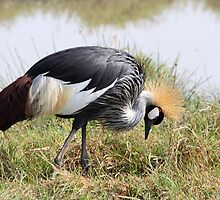 Grey Crowned Crane Feeding by Carole-Anne