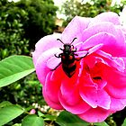 Insect's Hide'n'Seek over Rose by Prasoon Shandilya