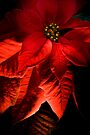 Poinsettia Wish by Adam Bykowski