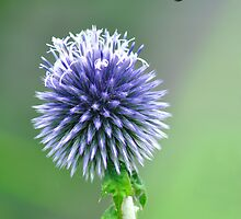 Card - Globe Thistle  by Rod Johnson