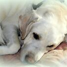 Dakota The Sleeping Lab by vette