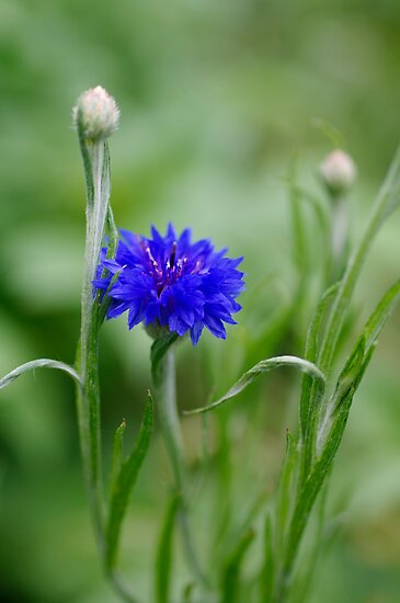Cornflower Blue by Clare Colins