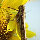 Grasshopper with Sunflower Blossom by Rainy