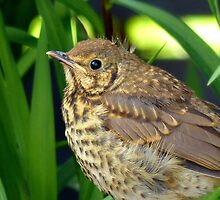 I'll Be All Grown Up When I Shake Off This Bit Of Fluff... - Song Thrush - NZ by AndreaEL