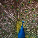 Indian Blue Peacock by Brett Rogers