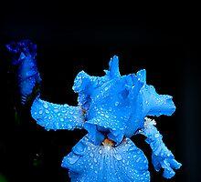 Blue Iris in Rain by Randy & Kay Branham