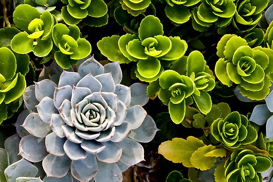 Echeveria and her Dayglow Friends by Adam Bykowski