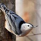 White-breasted Nuthatch by Nancy Barrett