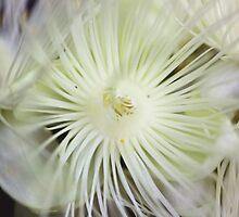 Barringtonia calyptrata by andrachne