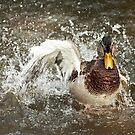 Mallard Splash by Skye Hohmann